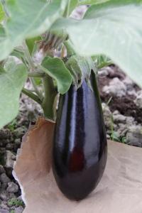 13 juni - aubergine